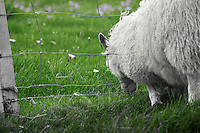The Grass is Always Greener on the Other Side of the Fence. Sheep grazing on the summer pastures in Vestmannaeyjar, Iceland. Image taken with a Nikon D4 camera and 80-400 mm VRII lens (ISO 800, 400 mm, f/9, 1/500 sec). Nikonians Iceland Photo Adventure Tour.