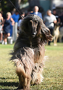 Afghan Hound at a dog show The Afghan Hound is a hound that is distinguished by its thick, fine, silky coat and its tail with a ring curl at the end. The breed is selectively bred for its unique features in the cold mountains of Afghanistan.