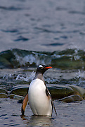 Adult gentoo penguin returning to land from the sea, stands in shallow water with crashing wave in the background.