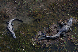 High angle view of two American Alligators (Alligator mississippiensis) in Lake.