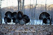 00845-01018 Eastern Wild Turkey (Meleagris gallopavo silvestris) gobblers strutting, Stephen A. Forbes SP,  Marion Co.  IL
