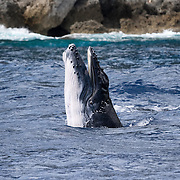Male humpback whale calf (Megaptera novaeangliae) that was with his mother and escort, opening his mouth while playing.