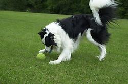 Eddie Sander with his Dogs Jackson and Inka<br /><br />18 June 2004<br /><br />Copyright Paul David Drabble<br /> [#Beginning of Shooting Data Section]<br />Nikon D1 <br /> Focal Length: 35mm<br /> Optimize Image: <br /> Color Mode: <br /> Noise Reduction: <br /> 2004/06/18 09:57:31.3<br /> Exposure Mode: Manual<br /> White Balance: Auto<br /> Tone Comp: Normal<br /> JPEG (8-bit) Fine<br /> Metering Mode: Center-Weighted<br /> AF Mode: AF-C<br /> Hue Adjustment: <br /> Image Size:  2000 x 1312<br /> 1/400 sec - F/4<br /> Flash Sync Mode: Not Attached<br /> Saturation: <br /> Color<br /> Exposure Comp.: 0 EV<br /> Sharpening: Normal<br /> Lens: 17-35mm F/2.8-4<br /> Sensitivity: ISO 200<br /> Image Comment: <br /> [#End of Shooting Data Section]
