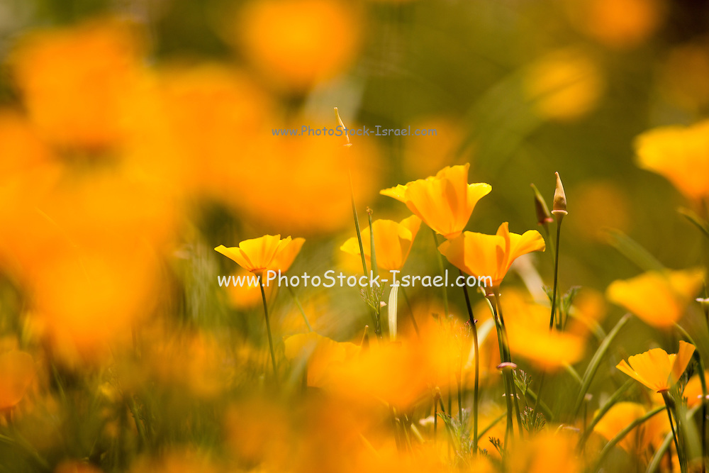 California poppies (Eschscholzia californica). California poppy leaves were used medicinally by Native Americans, and the pollen was used cosmetically. The seeds are used in cooking.