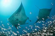 reef manta rays, Manta alfredi (formerly Manta birostris ), at cleaning station by Hanifaru Bay entrance, on patch reef with silversides or glassfish; Hanifaru Lagoon, Baa Atoll, Maldives ( Indian Ocean )