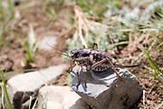 Mongolian Cicada