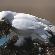 Snowy Owl (Bubo scandiacus) male with a beak full of grass to build a larger nest. Barrow, Alaska
