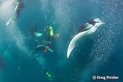 scuba divers photographing manta rays, Manta alfredi (formerly Manta birostris ), feeding on plankton, Hanifaru Bay, Baa Atoll, Maldives ( Indian Ocean )