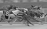 02 20 2008 - Greyhounds circle the track during the matinee at Derby Lane. <br /> <br /> BRIAN CASSELLA