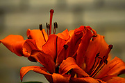 Blooming Orange Amaryllis with a dark background