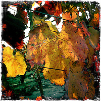 16 December 2013:  Winter vines resting fall color leaves in Temecula, California.  iPhone Stock Photo