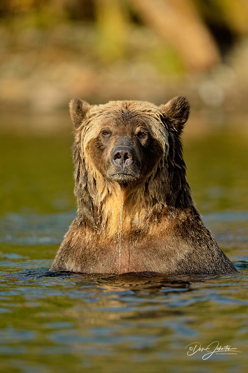 Grizzly bear (Ursus arctos)- Hunting spawning sockeye salmon in a salmon river, Chilcotin Wilderness, BC Interior, Canada