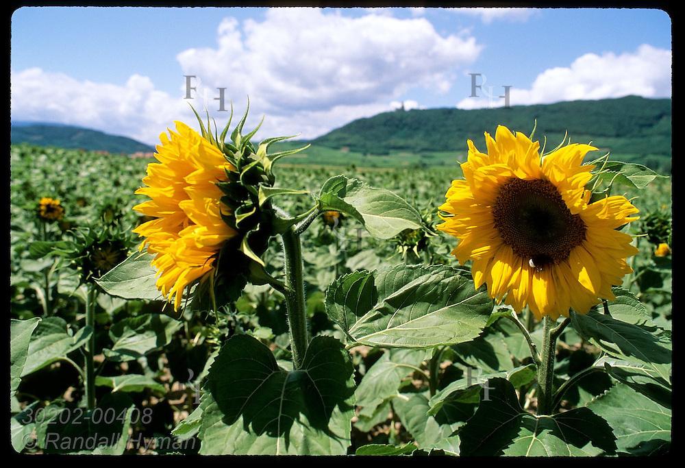 Blossoming sunflower field lies below foothills of the Vosges Mountains; Scherwiller, Alsace. France