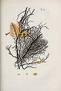 hand painted Botanical illustration of flower details leafs and plant from Miscellanea austriaca ad botanicam, chemiam, et historiam naturalem spectantia, cum figuris partim coloratis. Vol. I  by Nicolai Josephi Jacquin Published 1778. Figure 8