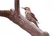 Northern Flicker (Colaptes auratus), Alberta, Canada