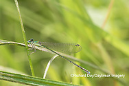 06330-00103 Spaghnum Sprite (Nehalennia gracilis) female in fen Dent Co. MO