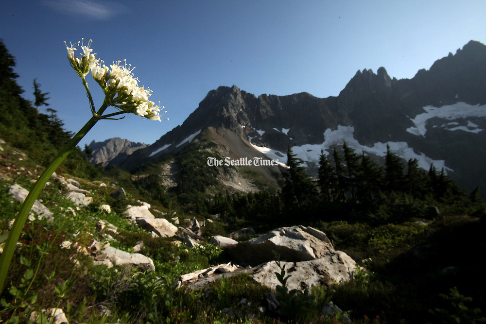 Sitka Valerian blooms in heather meadows on the trail to Cascade Pass in North Cascades National Park. (Erika Schultz / The Seattle Times)