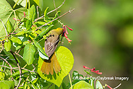 01618-01514 Orchard Oriole (Icterus spurius) female getting nectar on Dropmore Scarlet Honeysuckle Lonicera x brownii Marion Co. IL