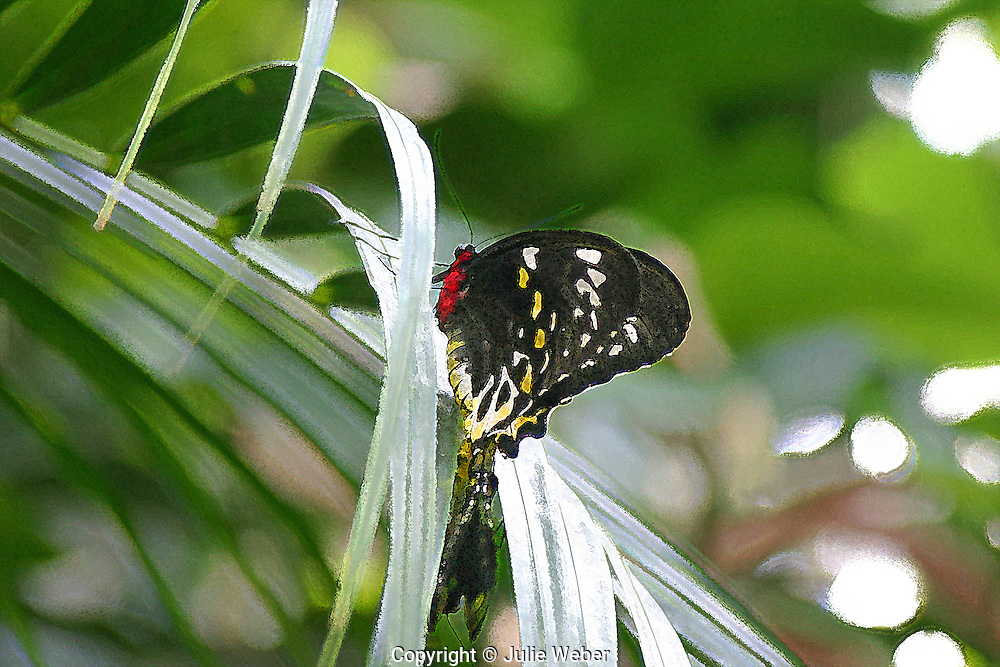 """A black,white and yellow spotted butterfly with a red body alights on long, slender palm leaves. This image has been enhanced for a painterly effect.<br /> <br /> <br /> For IMAGE LICENSING just click on the """"add to cart"""" button above.<br /> <br /> Fine Art archival paper prints for this image as well as canvas, metal and acrylic prints available"""