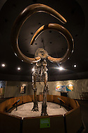 Columbian Mammoth skeleton recovered from the LaBrea Tar Pits on display at the Page Museum in Los Angeles' Hancock Park.