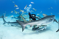 """Shark Wrangler"" Carlos Estrabeau finds himself the center of attention, with three Tiger Sharks looking for handouts.<br /> <br /> Shot in Bahamas"