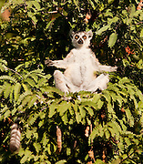 A Ring Tailed Lemur, Berenty Reserve, Madagascar. Ring Tailed Lemurs must sunbathe in the mornings in order to raise their body temperature after the cold night.