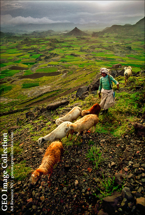 A shepherd leads his flock through a green mountain valley dotted with volcanic peaks near Dhamār in the Yemen highlands.