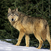 Gray Wolf (Canis lupus) adult in the Rocky Mountains during the winter. Captive Animal
