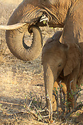 Close up of a Juvenile Elephant Photographed in Kenya