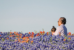 Man and girls in field of Indian paintbrush (Castilleja indivisa) and bluebonnets (Lupinus texensis), Ennis, Texas USA. Tentative ID.