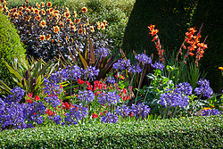 Dahlia 'Moonshine' syn 'Moonfire', agapanthus, eucomis and gladioli in the parterre at Pettifers