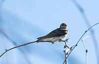 Northern Rough-winged Swallow, Stelgidopteryx serripennis, in the Riparian Preserve at Water Ranch, Gilbert, Arizona