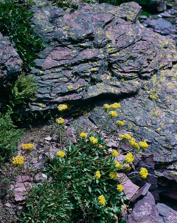 Sulphur flowers and red mudstone with lichens, Glacier National Park, Montana, USA