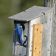 Mountain Bluebird (Sialia currucoides) Male at nest box. Bridger Mountains. Montana