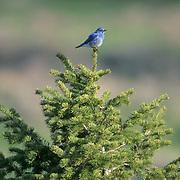 Mountain Bluebird (Sialia currucoides) Male sitting on pine tree. Bridger Mountains. Montana