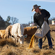 Perry Neal lays down feed for his family's cattle in Lebanon, Tennessee. Nathan Lambrecht/Journal Communications