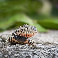 Microlophus albemarlensis (there are several synonyms), Lava Lizard, Santa Cruz, Galapagos