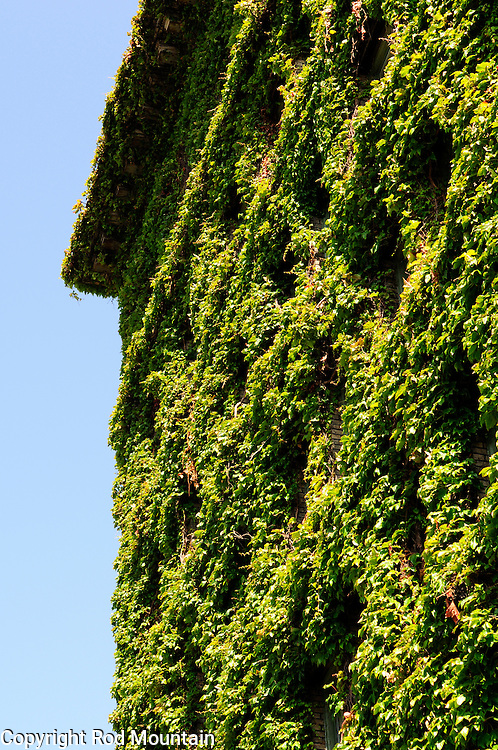 Green vines have completely overgrown the Sylvia Hotel in Vancouver, British Columbia<br /> <br /> Photo: © Rod Mountain