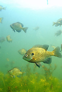 Bluegill Sunfish school<br /> <br /> ENGBRETSON UNDERWATER PHOTO