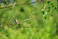 Red-backed Shrike (Lanius collurio), Latvia