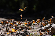 Monarch Butterflies stop at a small stream for water as they mass at the El Capulin Monarch Butterfly Biosphere Reserve in Macheros, Mexico. Each year millions of Monarch butterflies mass migrate from the U.S. and Canada to the Oyamel fir forests in central Mexico.