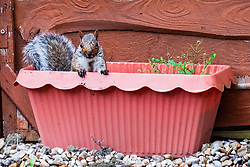A Grey Squirrel (Scientific name Sciurus Carolinensison) sits in a plant pot during a brief visit to a small Sheffield suburban garden.<br /> <br /> 20 August 2021<br /> <br /> www.pauldaviddrabble.co.uk<br /> All Images Copyright Paul David Drabble - <br /> All rights Reserved - <br /> Moral Rights Asserted -