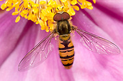 Close-up of a marmalade icon hover-fly (Episyphus balteatus) feeding in the centre of a pink anemone flower in a Norfolk garden in summer.