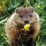 WoodChuck or Groundhog (Marmota monax) Feeding on dandelion. Montana.Spring. Captive Animal.