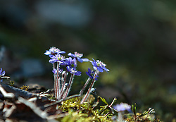 THEMENBILD - das Leberblümchen (Hepatica) ist eine kleine blaublühende Pflanze, die bevorzugt in Wäldern im Halbschatten wächst. Sie war und ist eine wichtige Pflanze in der Volksheilkunde. Alle Teile der frischen Pflanze sind giftig, getrocknet ist sie ungiftig, aufgenommen am 07. April 2018, Kaprun, Österreich // The hepatica (Hepatica) is a small blue-flowering plant that grows preferentially in partial-shade forests. It was and is an important plant in folk medicine. All parts of the fresh plant are poisonous, dried it is non-toxic on 2018/04/07, Kaprun, Austria. EXPA Pictures © 2018, PhotoCredit: EXPA/ Stefanie Oberhauser