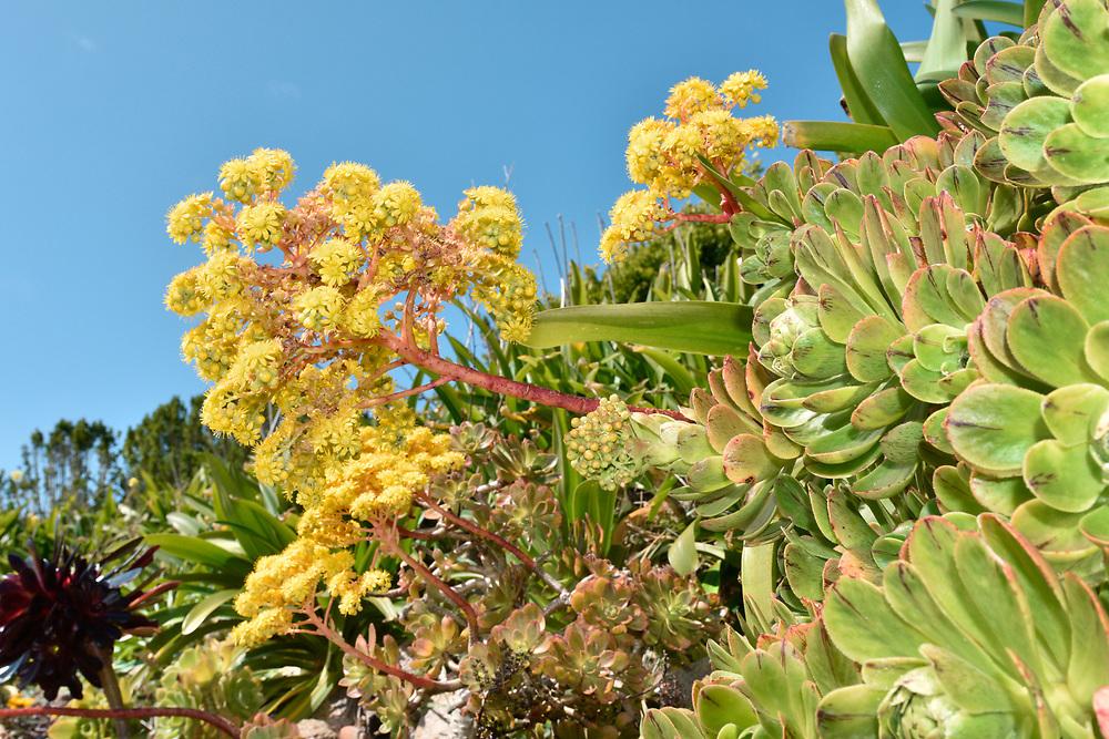 Tree Houseleek - Aeonium arboreum