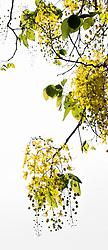 Golden Shower Tree, cassia fistula#1