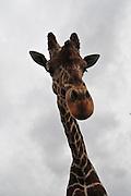 Reticulated Giraffe (Giraffa camelopardalis reticulata) distorted wide angel closeup