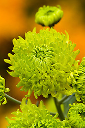 Chrysanthemum 'Green Envy'
