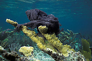 discarded plastic garbage bag has caught on elkhorn <br /> coral, Acropora palmata, and is smothering it,<br /> Bahamas ( Western Atlantic Ocean )